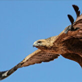 Migratory bird of prey's journey covers 2 continents, 13 countries