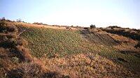 Ganos Dağı eteklerinde ada çayı hasadı başladı