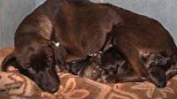 Kaza geçiren gebe köpeğe ilginç müdahale