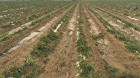 Elazığ'da ceviz büyüklüğünde dolu ekinlere zarar verdi-Elazığ haber