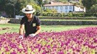 Yeni gelir kapısı aromatik bitkiler