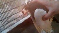 Ölmek üzere olan güvercine kalp masajı yaptı!