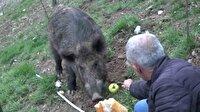 Tunceli'de yaban domuzunu elleriyle beslediler