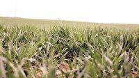 Tohum sektörü dünya devi olma yolunda