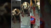 Bulldog'u polis kurşunu bile durduramadı