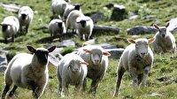 Esrar yiyen koyunlar köyü talan etti