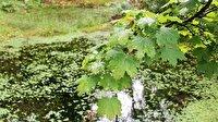 Çınar yaprağının dalında kuruması beklenmelidir