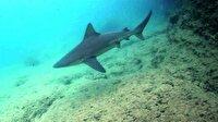Ege'de görülen köpek balıklarının sırrı ortaya çıktı