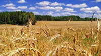 Buğdaydaki düşüşü engelleyecek model