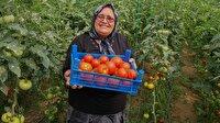 Domates üreticisi Fatma teyzeden ihracat başarısı