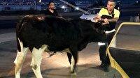 İzmir'de polisin durdurduğu otomobilden dana çıktı