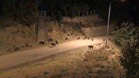 Tunceli'de aç kalan domuzlar şehre indi