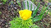 150 yıl sonra görülen 'kandamlası' bitkisi koruma altına alındı