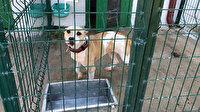 Bilecik'te pitbull saldırısı: Önce kediyi parçaladı sonra sahibine yöneldi