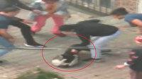 Tasmasız pitbull sokak kedisini dakikalarca bırakmadı