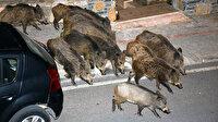 Yaban domuzları Bodrum'un özgür yaşamına ayak uydurdu
