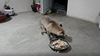 İki senedir her akşam yemeğe gelen tilki: Özgür