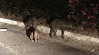 Bodrum'da domuzların saldırısına uğradı