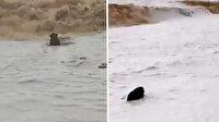 Fırtınada yolunu şaşıran yaban domuzu denizden çıkmak bilmedi