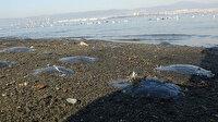 Gölcük'te denizanaları sahili kapladı
