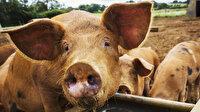 Rus kadını beslediği domuzlar yedi