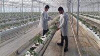 Sıfırdan başladı yıllık 500 ton domates üretiyor