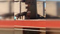 Antalya'da çatıya zincirlenen köpeğin zor anları