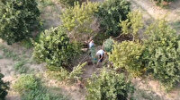 Narenciye bahçesine drone ile uyuşturucu operasyonu