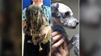 Tanınmaz haldeki köpekten 3,5 kilo tüy çıktı
