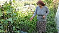 Çin salatalıkları 1 metreye ulaştı: Paniğe kapıldılar