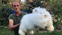 Milli ırk Angora tavşanını yeniden ülkeye kazandırmak istiyor: Tüyü astronot kıyafetlerinde kullanılıyor