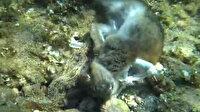Çanakkale'de ahtapot kendisinden 4 kat büyük tavşanı yerken görüntülendi