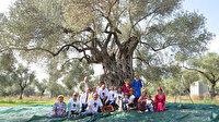 3 bin 200 yıllık zeytin ağacında hasat zamanı: Litresi 100 bin TL