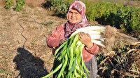 150 yıllık ata tohumlarıyla üretilen pırasa: Dünyada eşi benzeri bulunmuyor