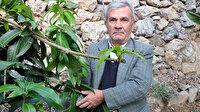 """12 mango ağacı 45 bin lira kazandırdı: """"Bu mango altın yumurtlayan bir meyve"""""""