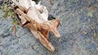 Trabzon'da 1,5 metre uzunluğunda, 2 ayaklı hayvan iskeleti bulundu: İncelemeye alındı