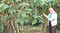 Ağaç domatesi 'Tamarillo' Rize'yi sevdi: 10 ağaçtan 300 kilo domates alıyor