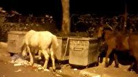 Başıboş bırakılan atlar çöpte yiyecek aradı