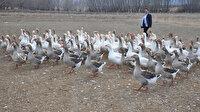 Fransız kazları ile çiftlik kurdu, 300 bin lira gelir hedefliyor