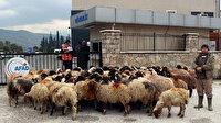 Ahırını su basan besici koyunlarıyla destek istedi: Çadır verilene kadar AFAD'ın önünde bekleyecek