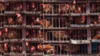 Çin'de kuş gribi salgını: 17 binden fazla kanatlı hayvan itlaf edildi