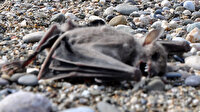 Antalya'da sahilde paniğe neden olan görüntü: Sahilde 2 yarasa ölüsü bulundu