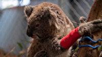 Onlarca koala kereste için  öldü