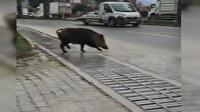Şehre inen domuz trafiği birbirine kattı