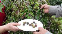 Antalya'da emekli çift ketembilla meyvesi üretti: Türkiye'de ilk kez üretildiği iddia edildi