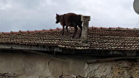 Burdur'da şaşırtan görüntü: Ahırdan kaçan dana çatıya çıktı