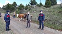 Kaybolan inekler jandarma tarafından drone ile bulundu