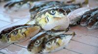 Balon balığı yiyen 3 kişi zehirlendi: Birinin hayati tehlikesi devam ediyor