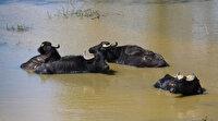 Afrika değil Arnavutköy: Sıcak havadan bunalan mandalar kendini serin sulara attı