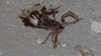 Kayseri'de 'sarıkız' cinsi örümcek tedirginliği: Akrep, kertenkele ve fareyle besleniyor